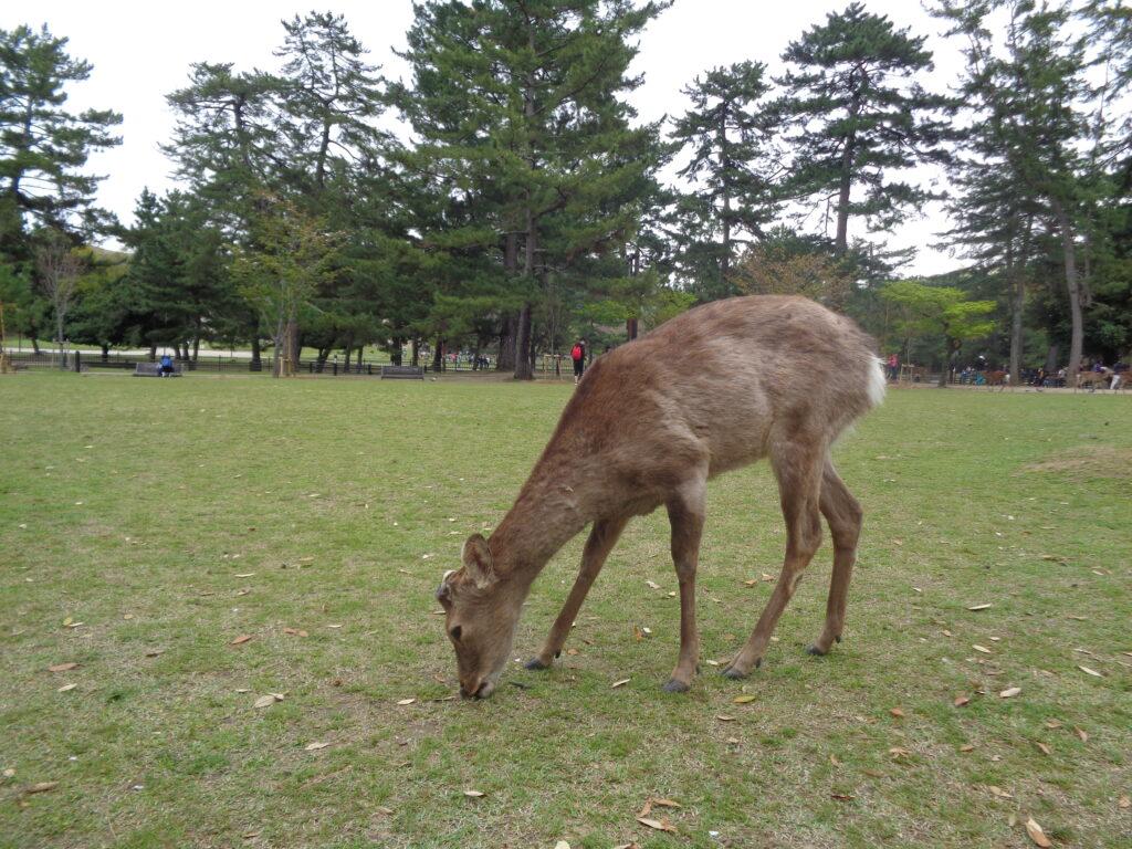 I cervi sacri a Nara in Giappone