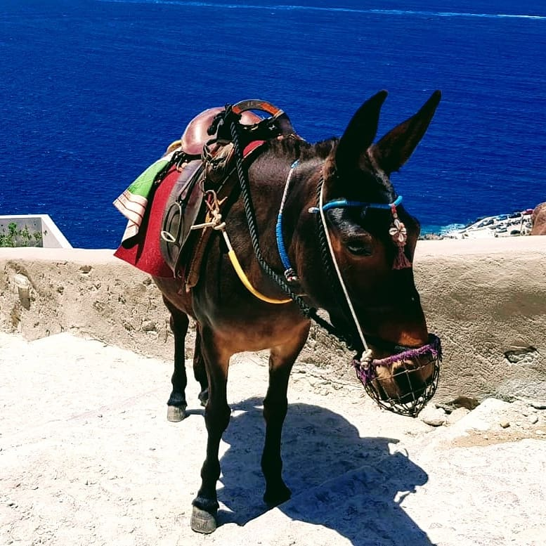 Asinello a Fira, Santorini